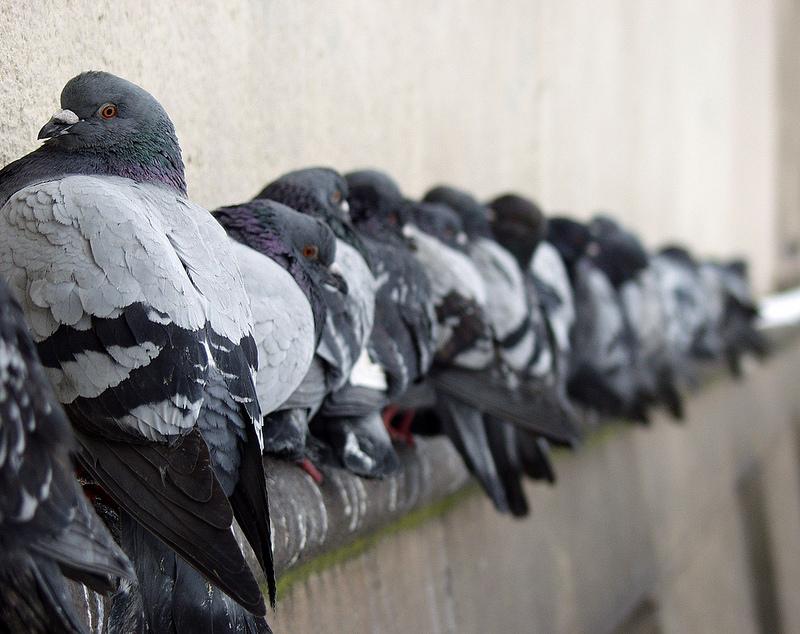 Co zawierają odchody gołębi?