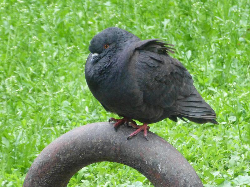 Dokarmianie gołębi – dlatego nie trzeba tego robić latem?